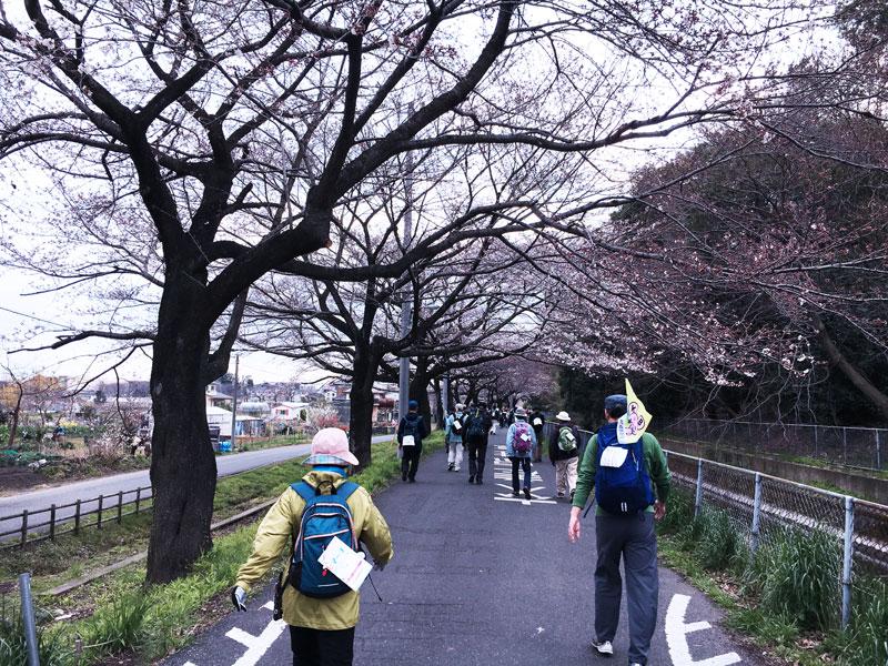 咲きはじめの桜並木。蕾がぷっくり膨らんでいて、かわいい。